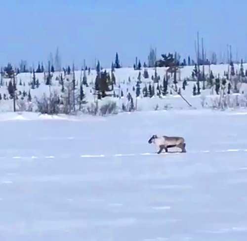 Caribou at nsrl