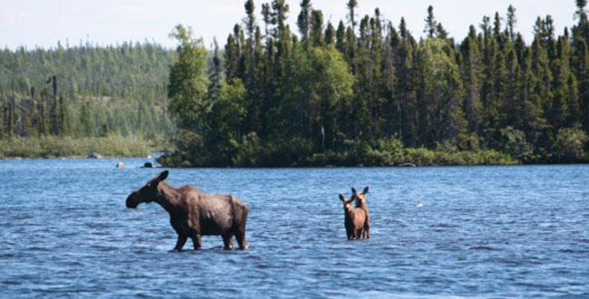 Egenolf Moose and Calf