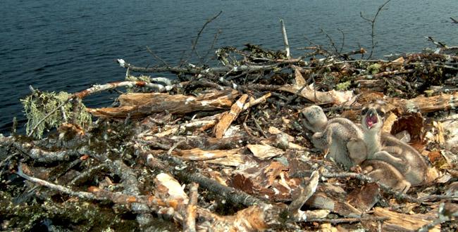 Osprey Egenolf Lake Nest