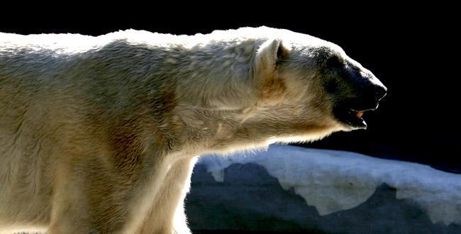 Polar Bear Tours from Ganglers